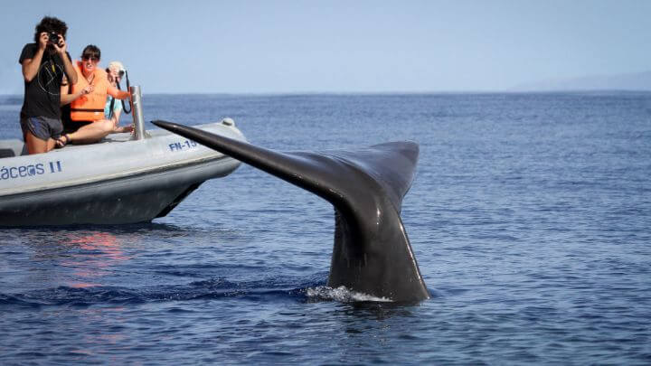 Whale watching in Madeira